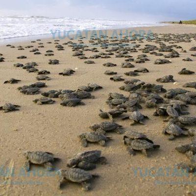 Visto bueno para la liberación de tortugas en Sisal este sábado