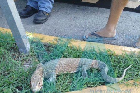 Encuentran un lagarto caminando en la avenida Quetzalcóatl