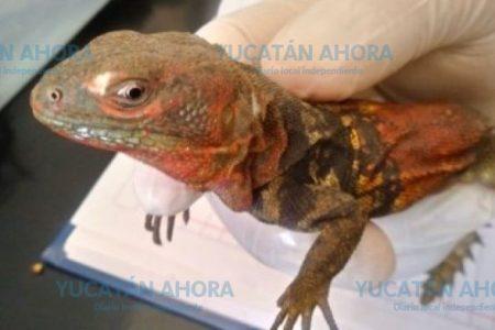 Aseguran 38 iguanas yucatecas en Quintana Roo; ya fueron liberadas en la zona Puuc