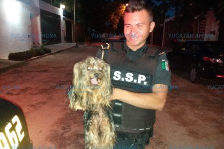 Agentes de la SSP rescatan un Yorkie extraviado en el norte de Mérida