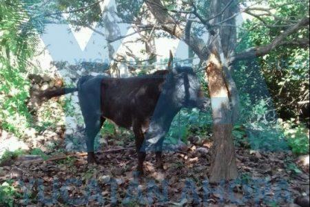Se escapa un toro de la corrida en Samahil: causa muerte y destrucción en un rancho