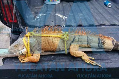 Descubre exótica y excitada iguana en su patio, en el sur de Mérida