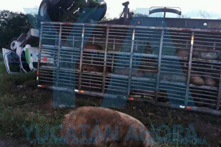 Otra volcadura de cerdos en carreteras de Yucatán