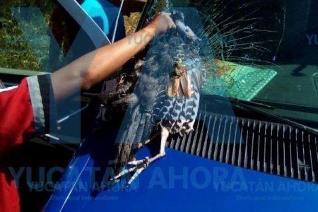 Choca pavo ocelado contra una ambulancia