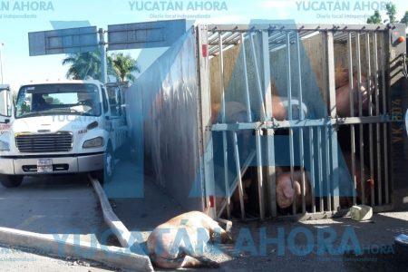 Tragedia porcina en el Periférico oriente