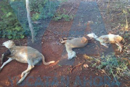 Extraños ataques de perros salvajes contra borregos en Yucatán