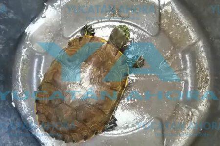 Salvan a tortuga de ser atropellada