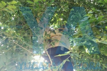 Típico: subió a un árbol y no supo cómo bajar; bomberos lo rescataron