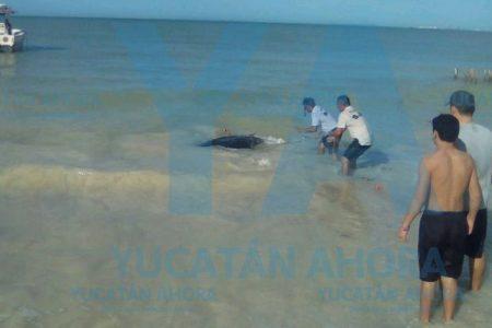 Rescatan mantarraya atorada en un red en Chelem