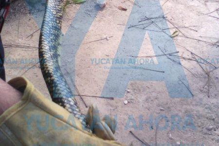 Susto de Año Nuevo: encuentra víbora chicotera en su casa