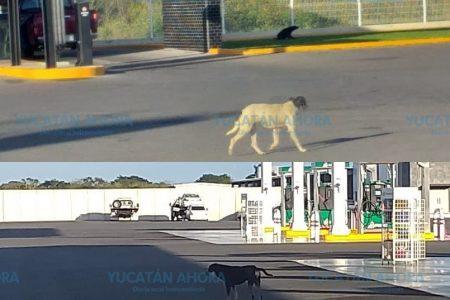 Los tres perros de la calle que mejor comen en Mérida