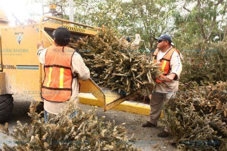 Meridano, a tu disposición 12 centros de acopio para pinos navideños