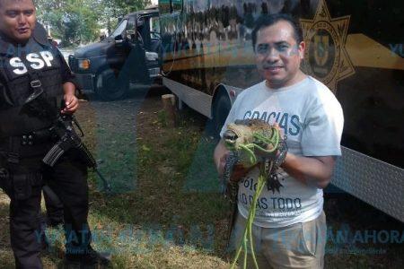 Encuentran exótico lagarto en comunidad yucateca