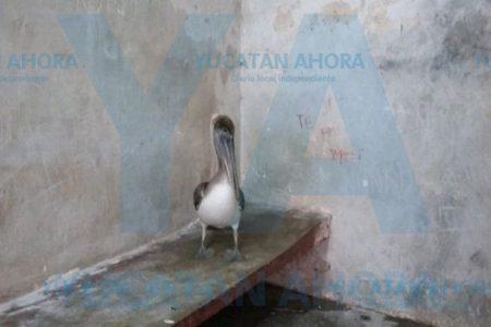 Hallan pelícano en el sur de Yucatán, a decenas de kilómetros de la costa