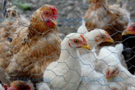 Yucatecos consumen pollos y gallinas con microplásticos