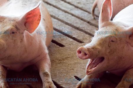 Reaparece en Yucatán enfermedad por comer cerdo infectado