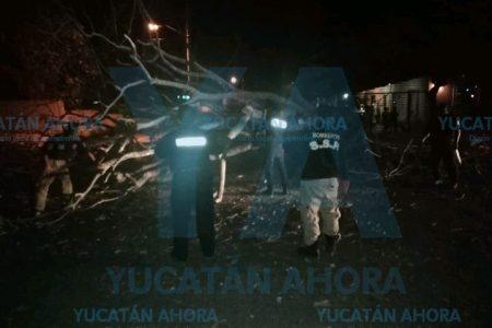 Cae antiguo árbol de 15 metros y bloquea una calle en el sur de Mérida