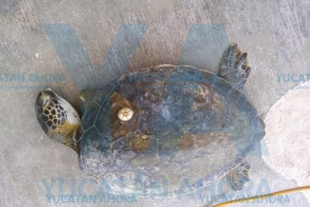 Siguen recalando tortugas muertas en la costa yucateca