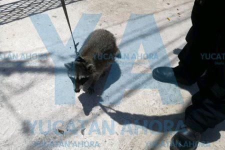 Encuentra un mapache en su pasillo