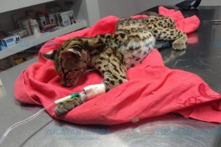 Encuentran hembra de tigrillo gravemente herida en Ciudad Caucel