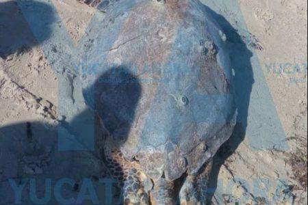 Encuentran tortuga muerta en el playón de Progreso