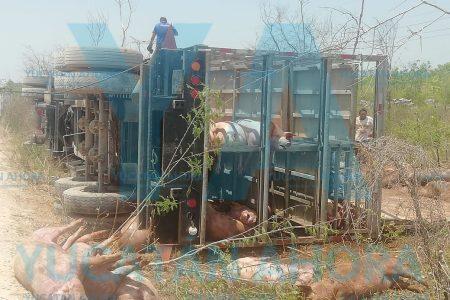 Mueren 70 cerdos al volcar un camión de carga