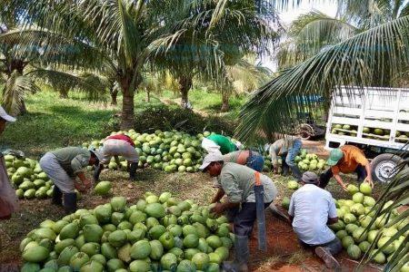 Formarán red estatal de cocoteros en Yucatán
