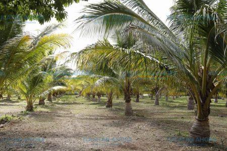 Promueven el aprovechamiento de la fruta del coco