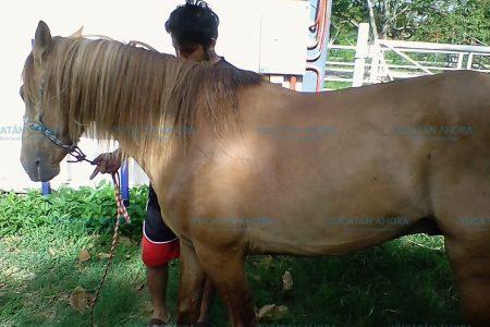 Tras caída, dan reposo de cuatro días a caballo calesero