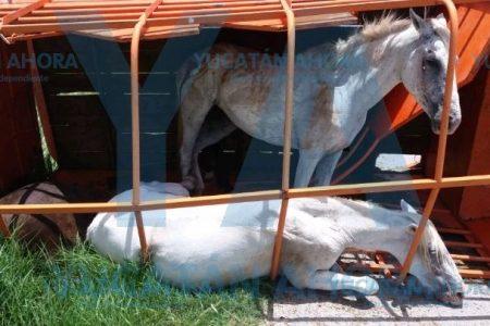 'Zangolotea' a sus animales por manejar a exceso de velocidad