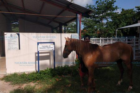 Valoran a caballo accidentado en la zona hotelera de Mérida