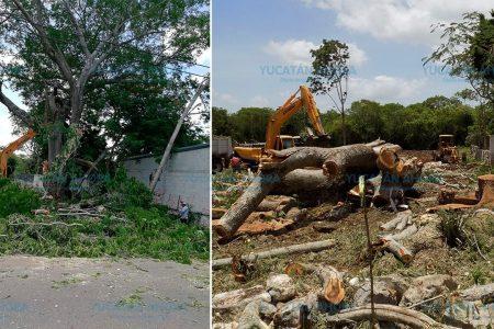 Talan árbol de más de 100 años para construir una maquiladora