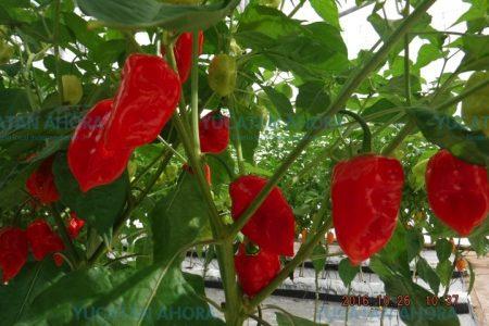 Científicos de Yucatán patentan nueva variedad de chile habanero: el Kisin