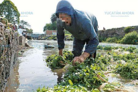 Verduras que llegan del centro de México, regadas con aguas negras