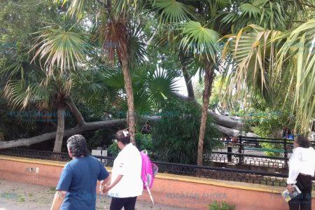 Cae árbol de 10 metros de alto en la Plaza Grande