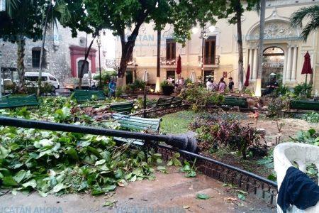 Pierde uno de sus antiguos árboles céntrico parque meridano