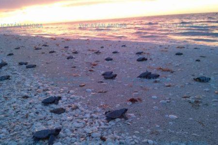 Ya liberaron 2,291 tortuguitas en costas de Yucatán