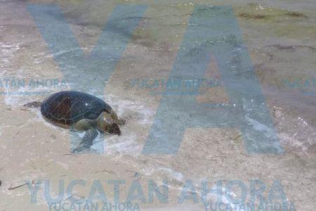Muere una tortuga en una playa entre Telchac y San Crisanto