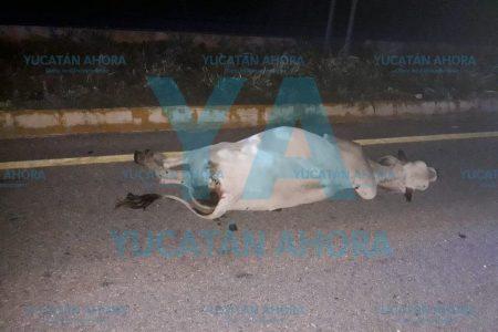 Tráiler del 'Osito Bimbo' atropella y mata una vaca