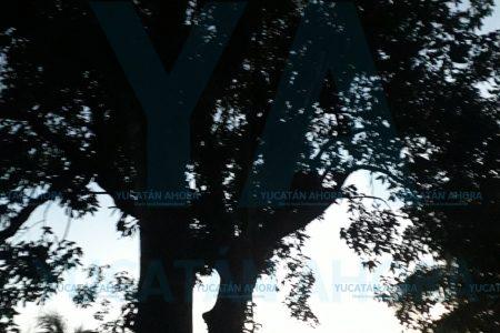 Muere abuelito al caer de un árbol mientras bajaba huayas