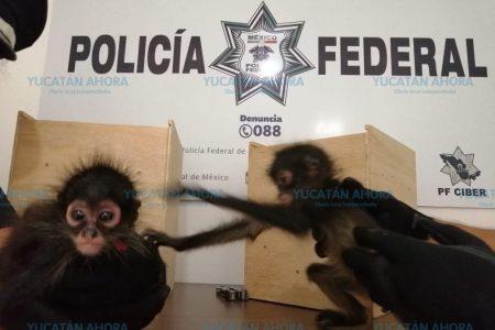 Decomisan dos pequeños monos araña en el aeropuerto meridano