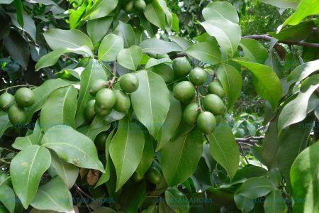 La huaya, más que un fruto del verano en Yucatán