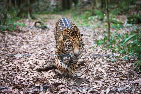 En Yucatán ya solo quedan 600 jaguares