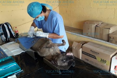 Buena respuesta a la campaña de esterilización de mascotas en Kinchil
