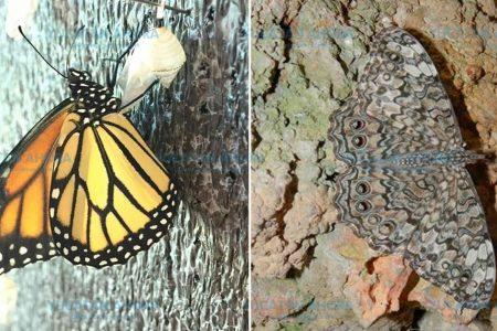 ¿Hace cuánto que no ves una mariposa en Merida?