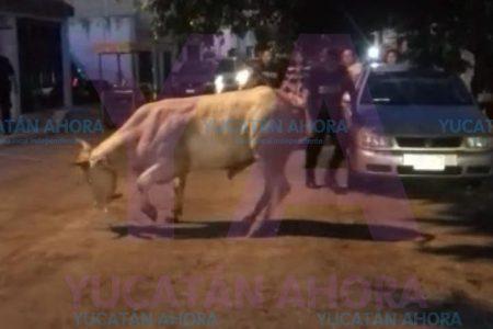 Escapa un toro del Rastro, embiste a una adolescente y daña un auto