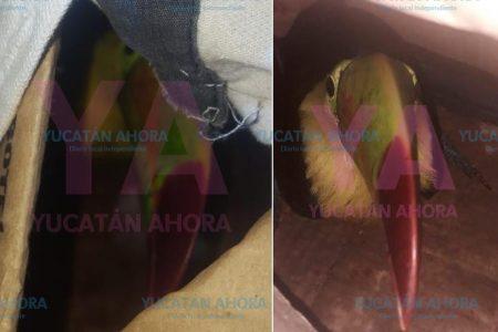 Decomisan un tucán en el sur de Yucatán