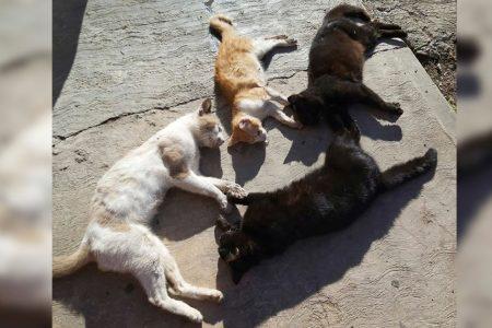 Envenenan gatos en la colonia México Oriente: estaban esterilizados