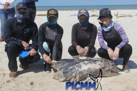 Encuentran muerto un bufeo en Yucalpetén: lo mataron las actividades humanas