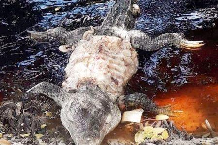 Indignación en Sisal: cazan cocodrilo y le arrancan la piel